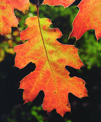 Usa, California, An Oak Leaf In Six Poster by Jaynes Gallery