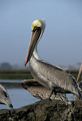 Usa, California, Brown Pelicans Poster by Gerry Reynolds