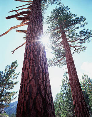 Usa, California Old-growth Ponderosa Poster by Jaynes Gallery
