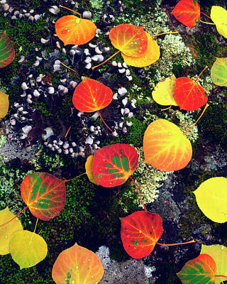 Usa, Colorado, Aspen Leaves On A Lichen Poster by Jaynes Gallery