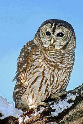 Usa, Colorado Portrait Of Barred Owl Poster