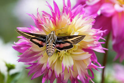 Usa, Colorado White-lined Sphinx Moth Poster by Jaynes Gallery