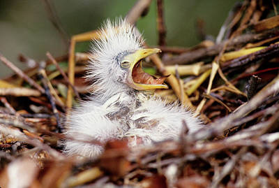 Usa, Florida Baby Cattle Egret In Nest Poster by Jaynes Gallery