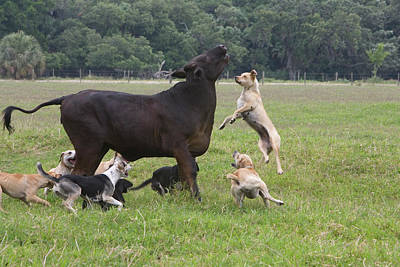 Usa, Florida Dogs Trained To Herd Poster