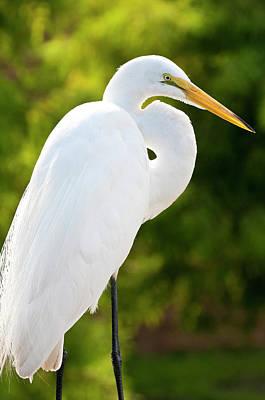 Usa, Florida Great Egret (ardea Alba Poster by Michael Defreitas