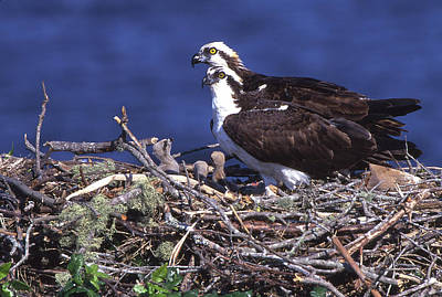 Usa, Florida Osprey And Chicks In Nest Poster