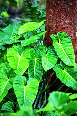Usa, Hawaii, Oahu, Philodendrons Poster