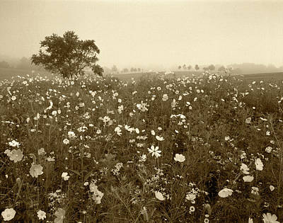 Usa, Kentucky, Union, Field Of Cosmos Poster