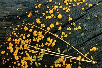 Usa, Michigan White Pine Needle Cluster Poster