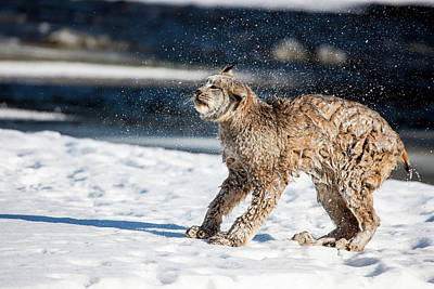 Usa, Minnesota, Sandstone, Lynx Shaking Poster