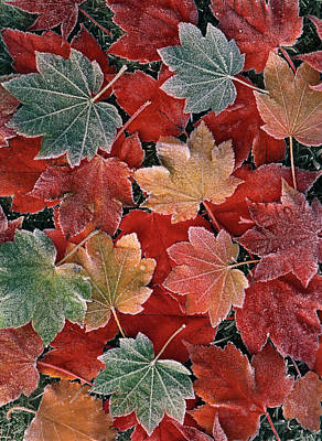 Usa, Oregon, View Of Autumn Maple Poster by Stuart Westmorland