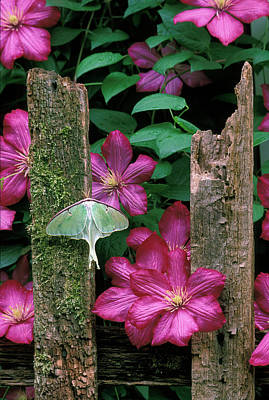 Usa, Pennsylvania, Luna Moth On Fence Poster by Jaynes Gallery