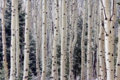 Usa, Utah Aspen Trees In Hell's Poster