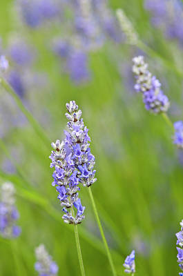 Usa, Wa Cultivated Worldwide Lavender Poster