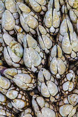 Usa, Washington Goose Barnacles In Salt Poster by Jaynes Gallery