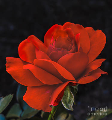 Valentine Rose Poster by Robert Bales