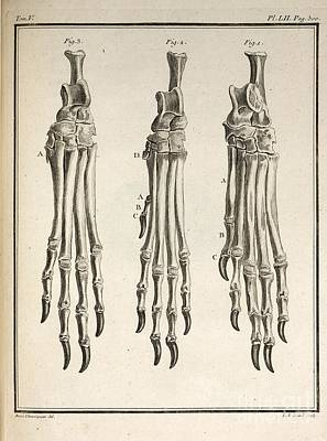 Variation Of Dog Feet, 1755 Poster by Paul D. Stewart