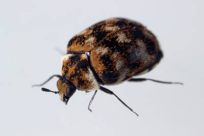 Varied Carpet Beetle Poster by Sinclair Stammers