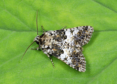 Varied Coronet Moth Poster by Nigel Downer