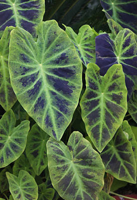 Variegated Elephant Ears Poster