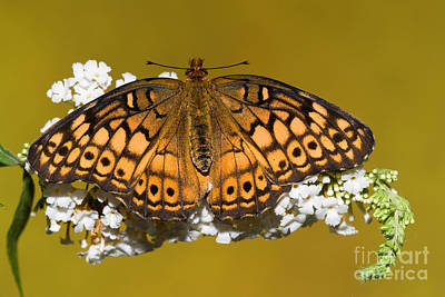 Variegated Fritillary Butterfly Poster