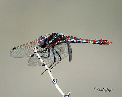 Variegated Meadowhawk Poster by David Salter