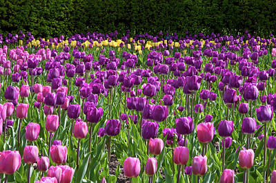 Various Tulip Flowers In A Garden Poster