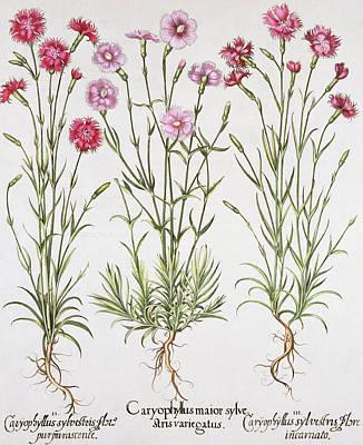 Various Varieties Of Dianthus Poster