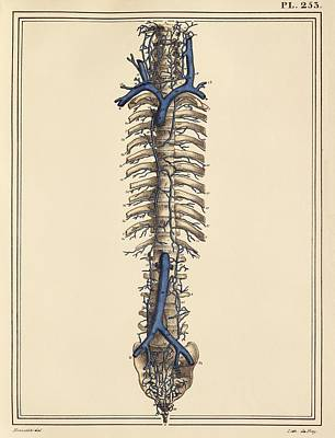 Vena Cavae Veins, 1825 Artwork Poster by Science Photo Library