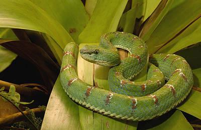 Venomous Eyelash Viper Ecuador Poster