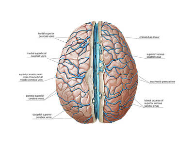 Venous System Of The Brain Poster by Asklepios Medical Atlas