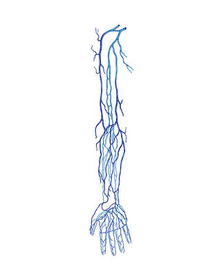 Venous System Of Upper Limb Poster by Asklepios Medical Atlas