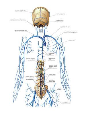 Venous System Of Vertebral Venous Plexus Poster by Asklepios Medical Atlas