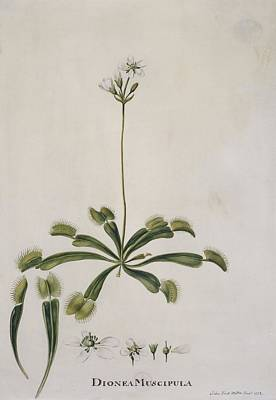 Venus Flytrap, 18th Century Poster by Science Photo Library