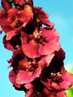 Verbascum 'cherry Helen' Flowers Poster by Ian Gowland