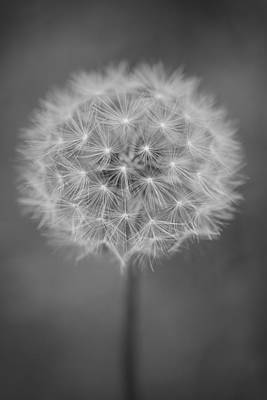 Vermont-dandelion-puffball-taraxacum Officinale-black And White Poster