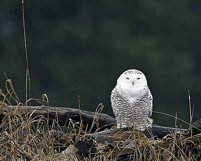 Vermont Snowy Owl Poster