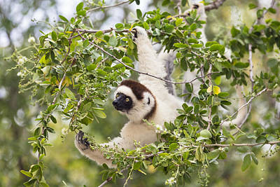 Verreauxs Sifaka Foraging Madagascar Poster