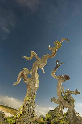 Vertical Tree Roots In Upper Geyser Poster