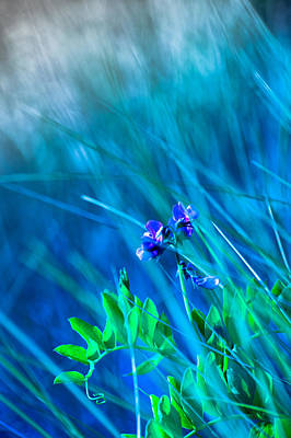 Vetch In Blue Poster by Adria Trail