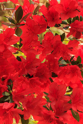 Poster featuring the photograph Vibrant Azalea by Patricia Schaefer