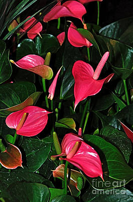 Vibrant Flamingo Lilies - Anthurium Poster by Kaye Menner