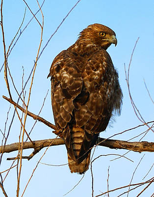 Vigilant Red-tailed Hawk  Poster