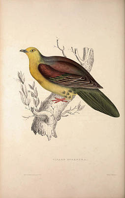 Vinago Sphenura, Wedge-tailed Green-pigeon. Birds Poster by Quint Lox