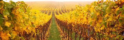 Vine Crop In A Vineyard, Riquewihr Poster