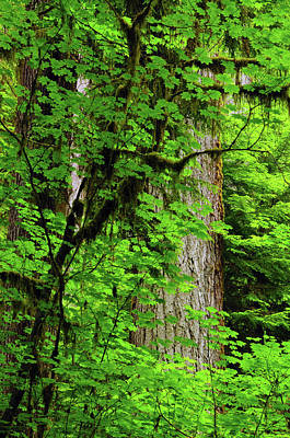 Vine Maple And Douglas Fir, Hoh Rain Poster by Michel Hersen