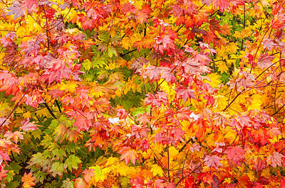 Vine Maple In Autumn Blaze Poster by Rich Leighton