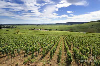 Vineyard Of Cotes De Beaune. Cote D'or. Burgundy. France. Europe Poster