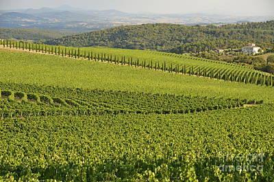 Vineyards And Cypresses In San Gusme Poster by Sami Sarkis