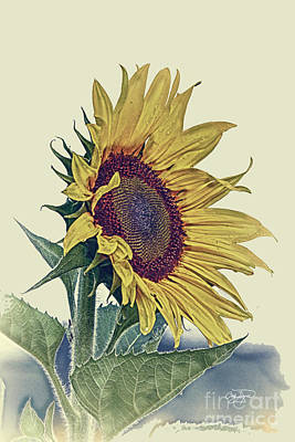 Vintage Sunflower Poster by Cris Hayes